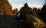 Pomul de Craciun, plin de viata: 25.000 de insecte se ascund printre globuri