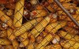 ALERTĂ ALIMENTARĂ! Porumb importat din România, infestat cu aflatoxină