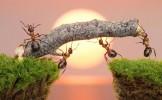 Când şi de ce furnicile îşi modifică comportamentul