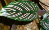 Gradina ta: Plante cu frunze bicolore